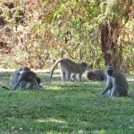 Vervet monkeys playing on the hotel grounds