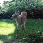 Deer are frequent visitors out front - a fawn on the lawn.
