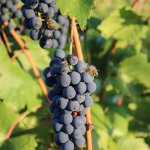Shelburne Vineyard - Marquette Grapes