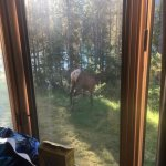 Elk in the morning