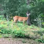 We spotted a beautiful doe.