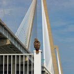 Red-tailed Hawk and the Ravenel Bridge