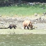 Mom and cub Grizzlies playing on the beach