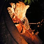 Leopard with kill on a tree