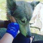 Photo de Yamnuska Wolfdog Sanctuary