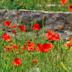Red field poppies in Eze Cemetery