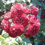 16. Roses