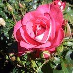 19. Roses