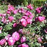 20. Roses