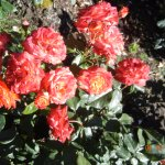 21. Roses
