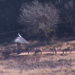 Zebras on path to cabins
