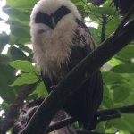 """Baby"" Spectacled owl and his parents found during a walk near the lodge by our expert guides Da"