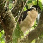 Forest Falcon in Manuel Antonio Park