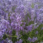 Close up of the lavender (rubbish phone quality).