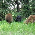 Baby Black Bears eating the dandelions