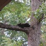 Baby bear asleep in tree right outside our hotel room