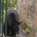 Mama bear walking around just outside our room