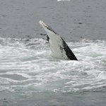 Humpback Flipper After Full Breach