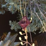 The Sausage Tree only blooms once a year and only at night! Beautiful and very fragrant!