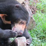 Watching the sun bear eating her fishy popsicle