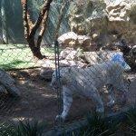 White Tiger Habitat at the Mirage Foto