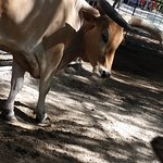 Sacred cow from India
