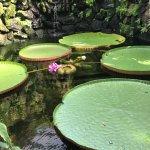 giant lilypads