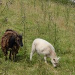 Two of the sheep who went with us down from the castle