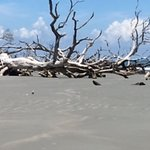 More trees at Driftwood Beach, Hunting Island