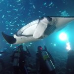 Large manta swimming among the divers