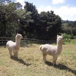 Bilbo and Frodo two of our alpacas