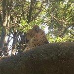 cheetah hanging out