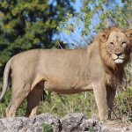 Male lion in Chobe National Park