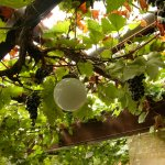 Bumps' grape vine inside the bar/restaurant.