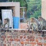 Caution! Mots of monkeys - free range - in Hampi.