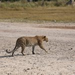 Leopard crossing the airstrip