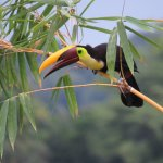 Yellow-throated Toucan photographed from Emilio's