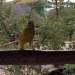 Golden weaver sharing lunch
