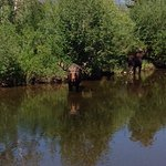 Moose in river ajoining property