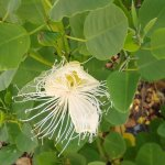 a native plant maiapilo with a nice fragrance
