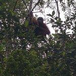 Orang Utan auf dem Weg zum Essen