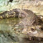 Dwarf Crocodile (I think but am not sure)