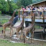 Giraffes in African Savanah