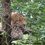 Leopard im Hagenbecks Tierpark