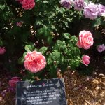 Each rose in the garden has a plaque with an inscription