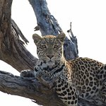 Leopard sighting in the Khwai Concession on one of our game drives