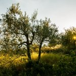 Old olive trees uphill