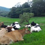 Cows rest at the green land.