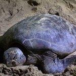 Selingan Turtle Island Foto