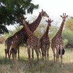 Girafes réserve de Bandia